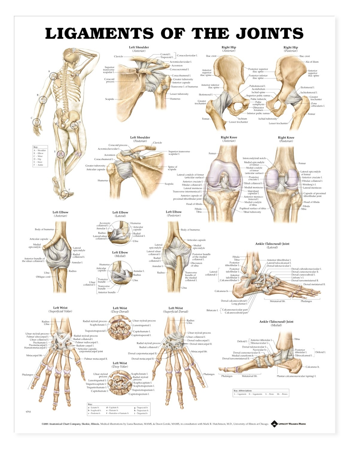Ligaments of the Joints Anatomical Chart - Anatomy Models and ...