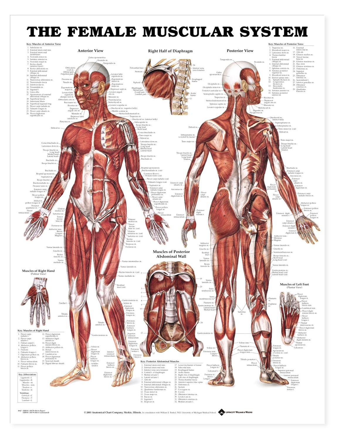The female muscular system anatomical chart anatomy models and