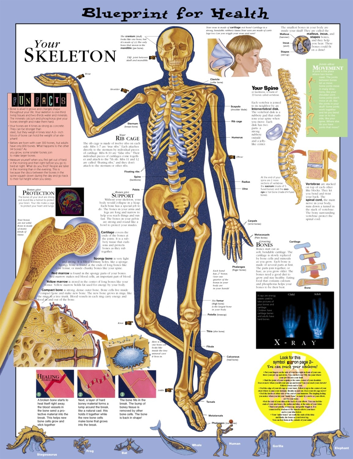 Blueprint for health your skeleton anatomical chart anatomy models blueprint for health your skeleton anatomical chart malvernweather Images