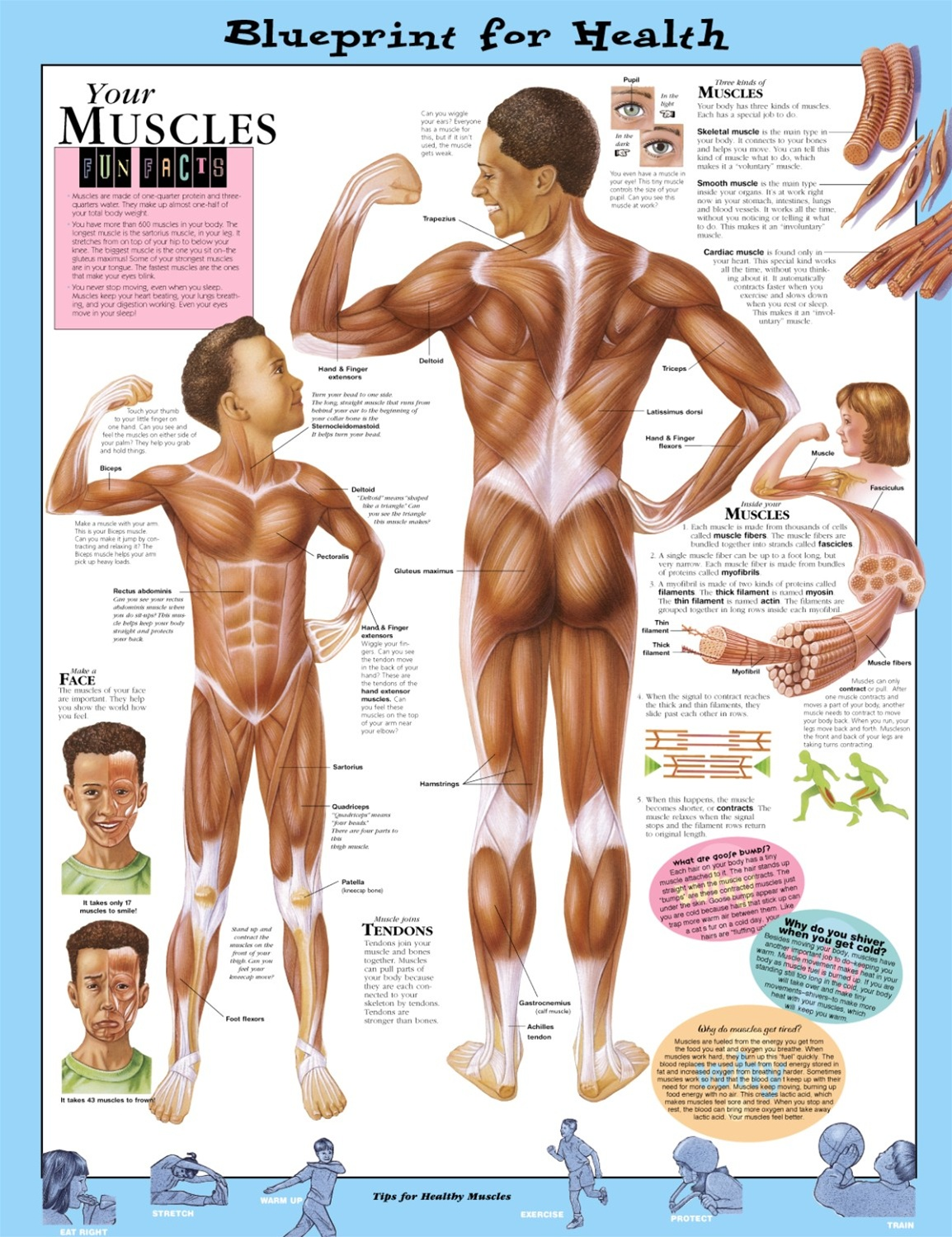 Blueprint for health your muscles anatomical chart anatomy models blueprint for health your muscles anatomical chart malvernweather Images