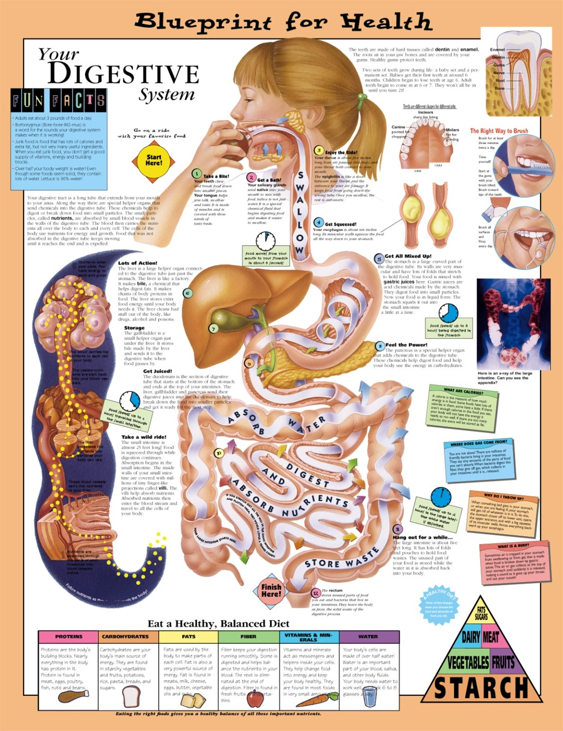 Blueprint for Health Your Digestive System Anatomical