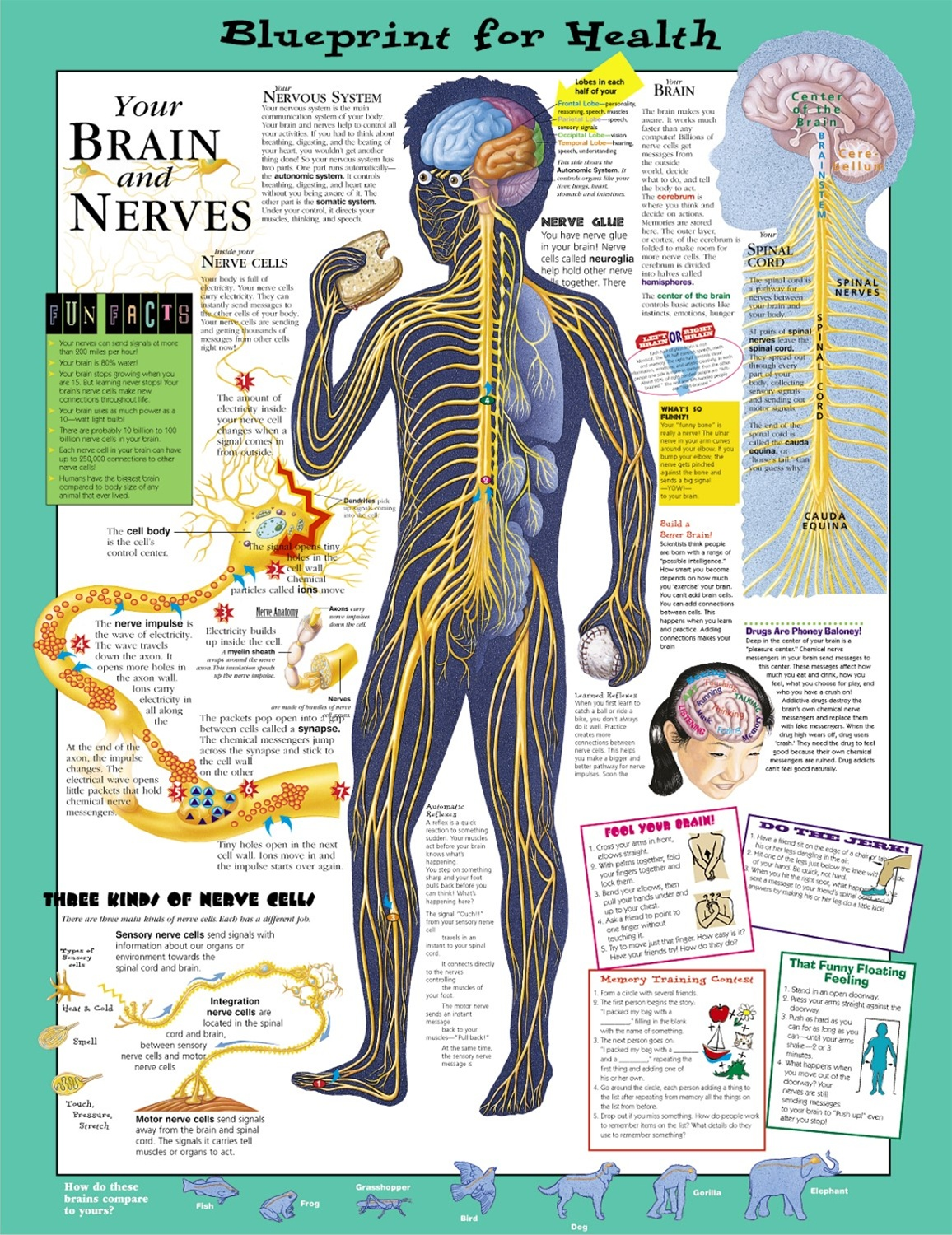 Blueprint for health your brain nerves anatomical chart blueprint for health your brain nerves anatomical chart malvernweather Images