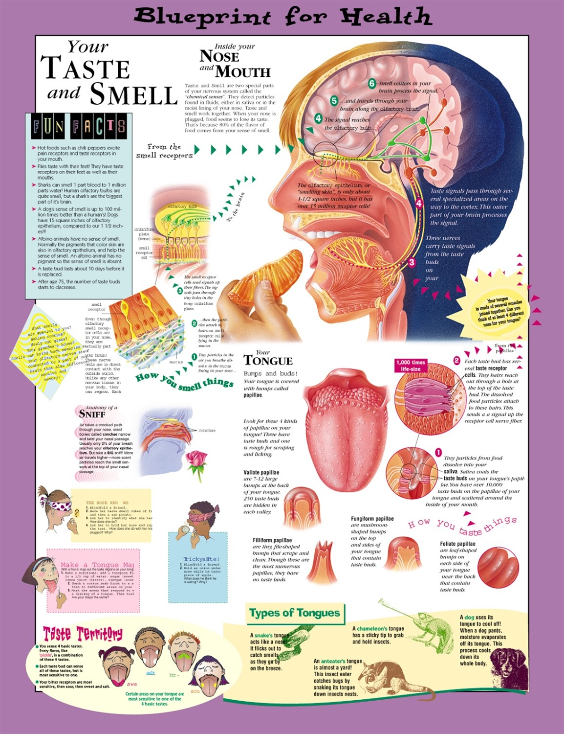 Blueprint for Health Your Taste and Smell Anatomical Chart - Anatomy ...