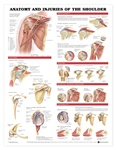 Anatomy and Injuries of the Shoulder Anatomical Chart - Laminated