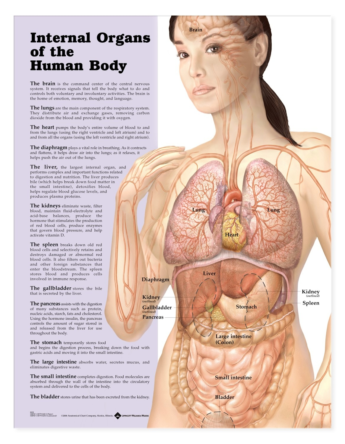 Internal Organs of the Human Body Anatomical Chart - Anatomy Models ...
