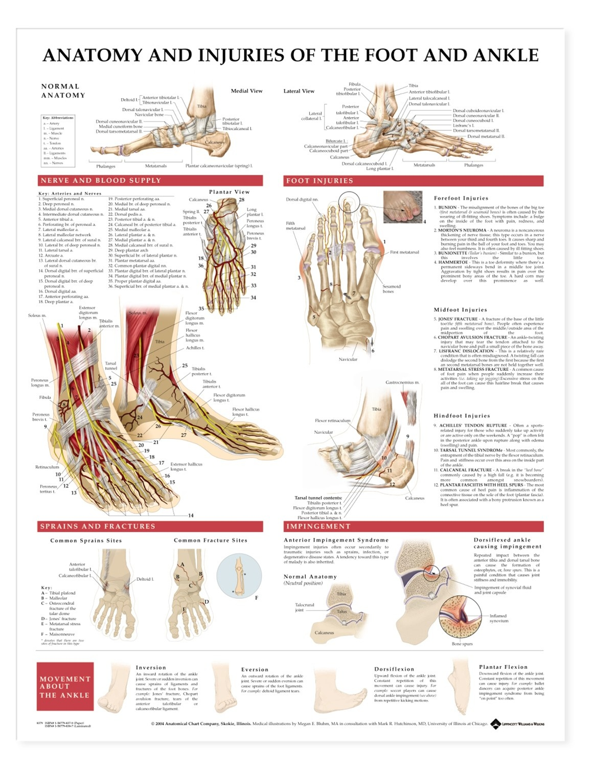 Anatomy and Injuries of the Foot and Ankle Anatomical Chart ...