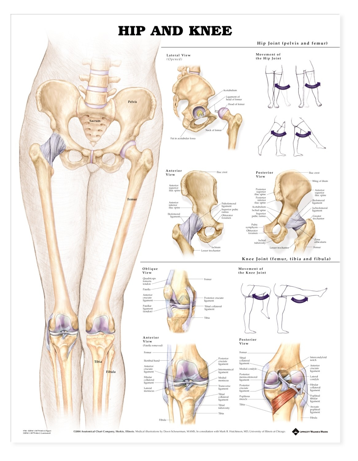 Hip and Knee Anatomical Chart - Anatomy Models and Anatomical Charts