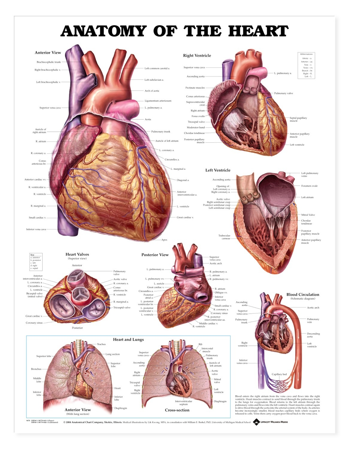 Anatomy of the Heart Anatomical Chart - Anatomy Models and ...