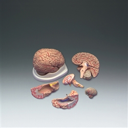 Budget Brain w/Arteries Model