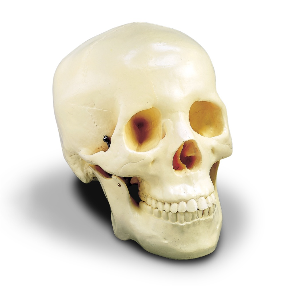 Budget Two-Piece Skull - Anatomy Models and Anatomical Charts