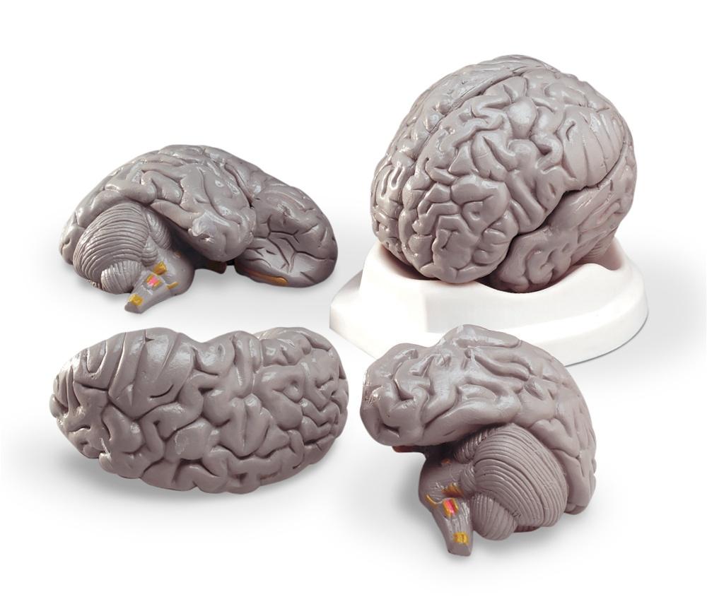 Budget Brain Model Anatomy Models And Anatomical Charts