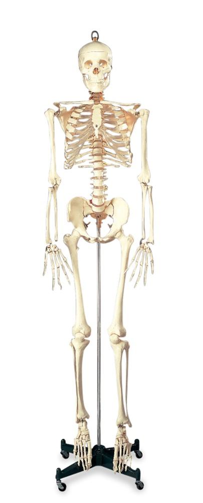 Budget Bucky Skeleton Model Anatomy Models And Anatomical Charts