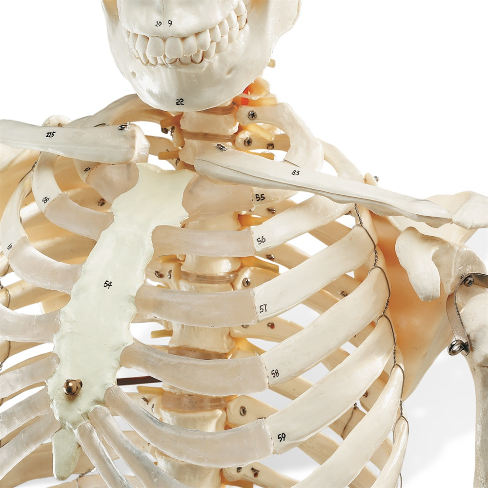 Numbered Budget Bucky Skeleton Model - Anatomy Models and Anatomical ...