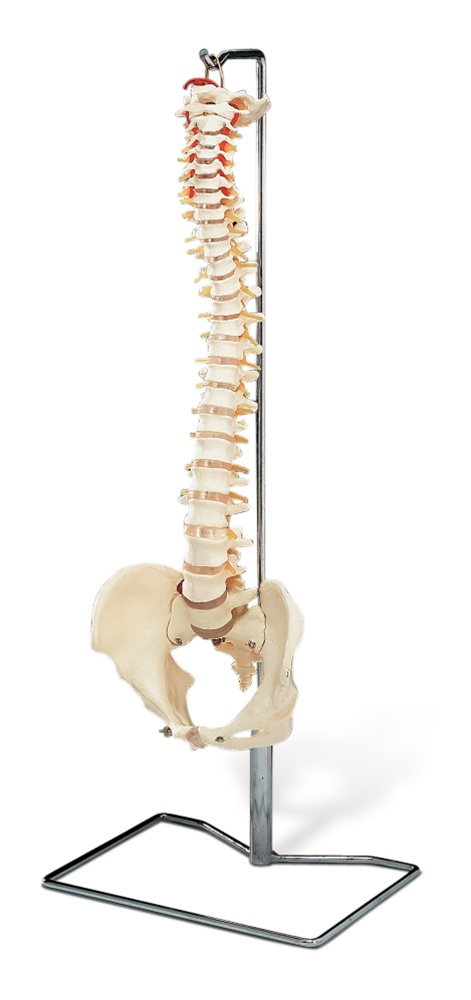 Flexible Spine Model W Stand Anatomy Models And Anatomical Charts
