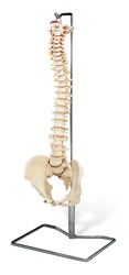 Flexible Spine Model w/ Stand