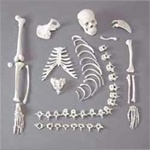 Half Disarticulated Budget Skeleton w/Skull