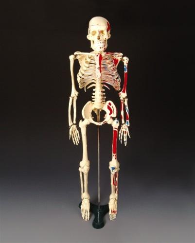 Painted Big Tim Skeleton Anatomy Models And Anatomical Charts