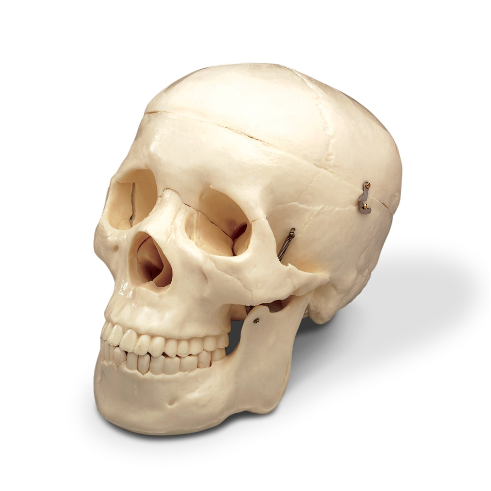 Budget Skull - Anatomy Models and Anatomical Charts