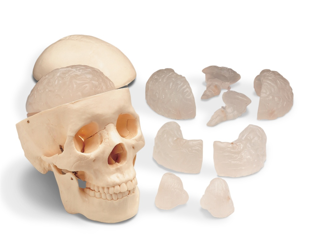 Budget Skull with 8-Part Brain Model - Anatomy Models and Anatomical ...