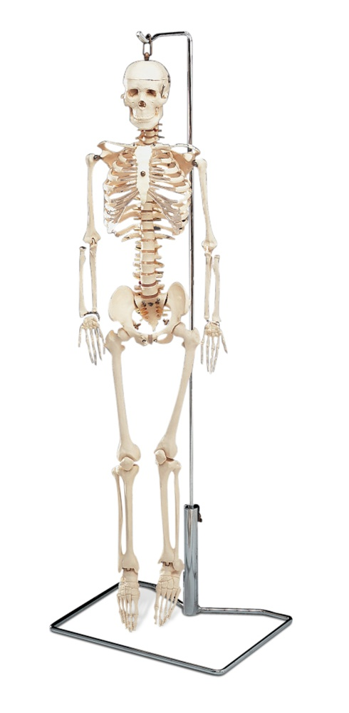 Flexible Mr. Thrifty Skeleton with Spinal Nerves - Anatomy Models ...