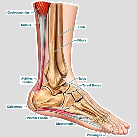 Bodypartchart cross section of the foot labeled anatomical charts retail price 8999 ccuart Images