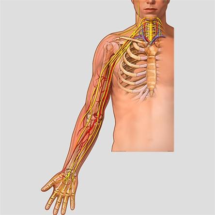 BodyPartChart Brachial Plexus - Anatomical Charts