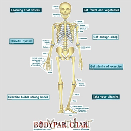 BodyPartChart Simplified Skeletal System - Labeled - Anatomical Charts