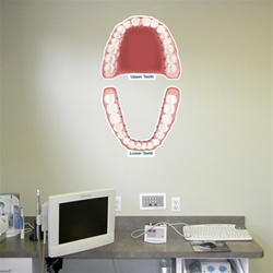 Upper and Lower Permanent Teeth - Labeled