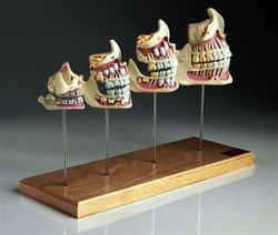 Teeth & Jaw Development Set