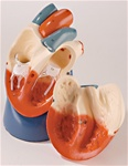 Life Size Heart Model, nonbreakable