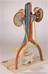 Free Standing Urinary System Model