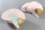 Life-size, 2 part Human Brain Anatomy Model