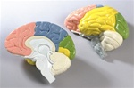 Life Size Regional Brain, 2 part