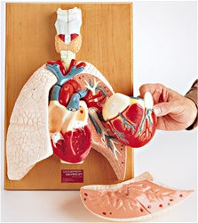 Cardiopulmonary System, Heart and Respiratory Organs