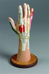 Deluxe Desktop Reference Hand Therapy Model