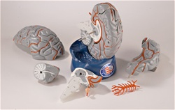 Hands-on Pass-around Life-size Brain Model with Arteries