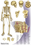 "Oversize Skeletal System Wall Chart - 36"" x 44"""