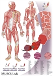 "Oversize Muscular System Wall Chart - 36"" x 44"""