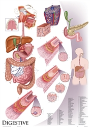 "Oversize Digestive System Wall Chart - 36"" x 44"""