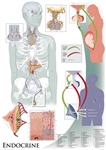 "Oversize Endocrine System Wall Chart - 36"" x 44"""