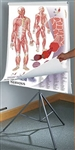 "Oversize Anatomy and Physiology Chart Set - 36"" x 44"""