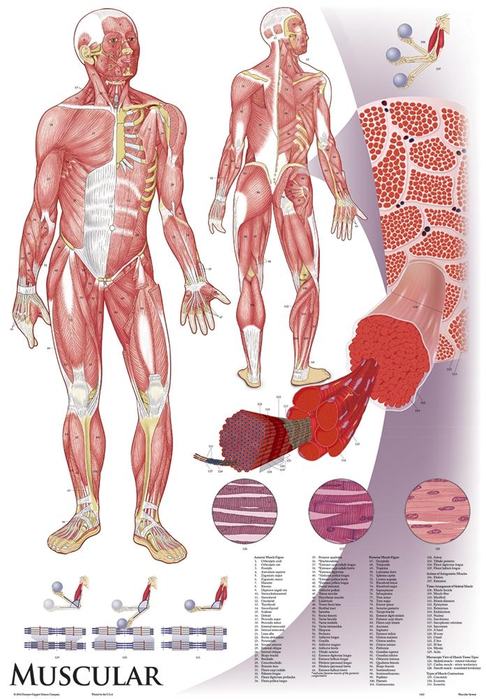 Oversize Anatomy and Physiology Chart Set - 36\