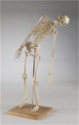 Premier Mini Skeleton Model, Fully Flexible Spine, 28 inches