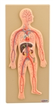 Human Circulatory System Model, cross section