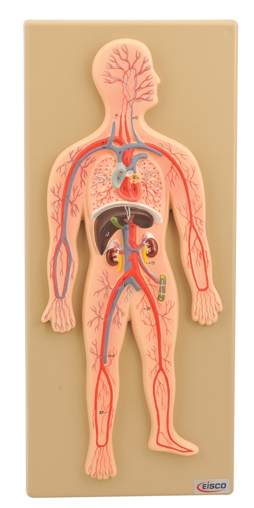 Human Circulatory System Model Cross Section