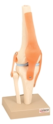 Functional, Ligament  Knee Model on Base