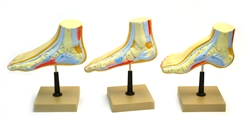 Human, Cross Section of Foot Model