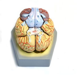 Human Brain w/Arteries Model, 8 part