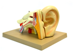 Ear, 4 times life size, 5 part