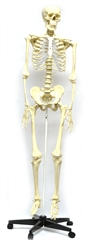Human Skeleton Model, Mounted on a Rolling Stand